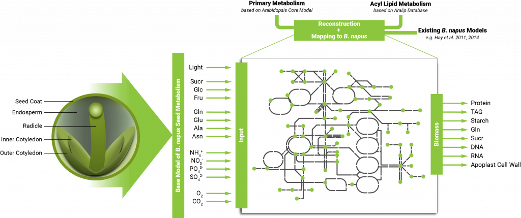 Figure 1: Constructing a base model for B. napus seed metabolism